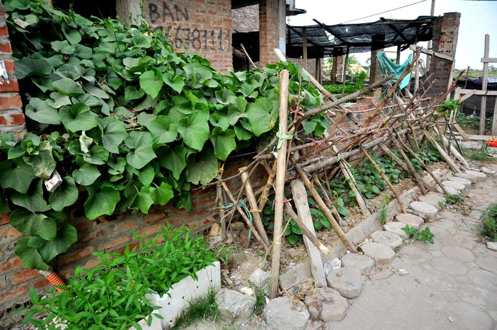 Hầu hết các vỉa hè trong khu đô thị này đều được người dân đổ đất, quây rào kín trồng rau. Bên trong các biệt thự chưa có người ở, cũng được tận dụng để gieo hạt, trồng đủ các loại rau.