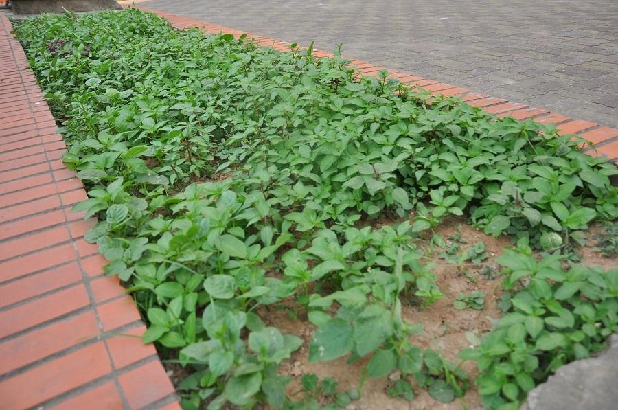 Những luống rau mùng tơi, rau đay bắt đầu lên xanh tốt.