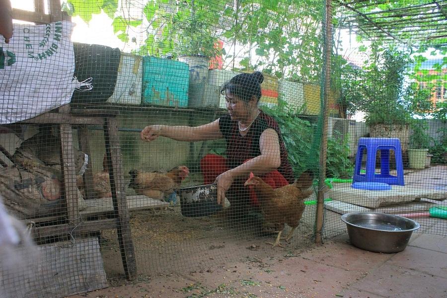 Ngoài trồng rau, bà Toàn còn nuôi gà ngay trên sân thượng. Hiện trong chuồng có khoảng 7 con gà, chủ yếu là gà đẻ trứng. Trung bình, mỗi tháng số gà này cũng cung cấp hàng chục trứng gà sạch cho gia đình.