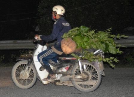Một xe máy cà tàng chở gỗ lậu ngụy trang chạy qua trạm