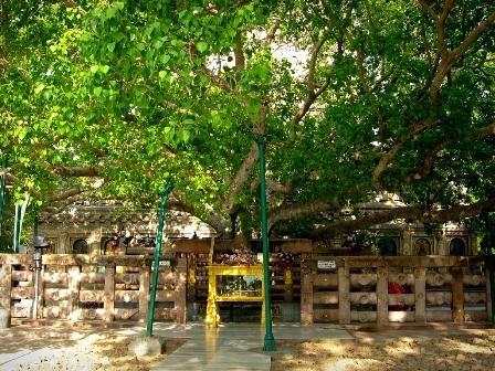 Cây cổ thụ Bồ Đề nơi Đức Phật ngồi tham thiền, đắc đạo.