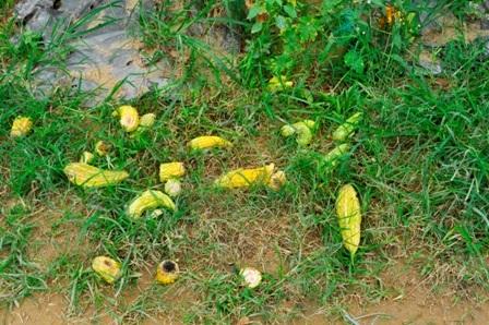 Giàn khổ qua bỏ không, trái rụng rất nhiều