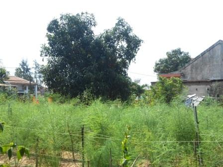 Cây măng tây xanh có giá trị kinh tế cao gấp 5-8 lần so với mặt bằng chung của ngành nông nghiệp