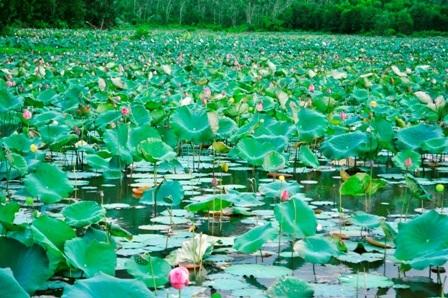 Quảng Nam: Về với mùa sen Trà Lý - 10