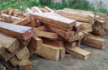 Số gỗ pơmu do lâm tặc khai thác vừa được vận chuyển về đồn Công an Chà Vàl. (Ảnh CTV).