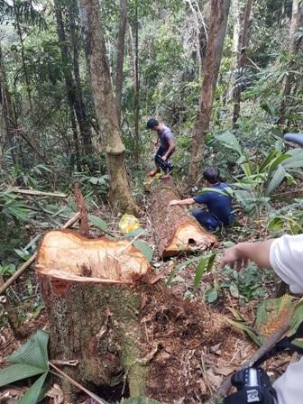 Một cây pơmu đổ xuống, lớp lớp cây rừng khác ngã theo