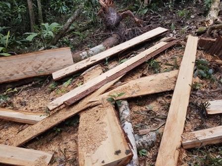 Phách gỗ pơmu nằm la liệt tại hiện trường. Đây là số gỗ chưa được chuyển ra ngoài