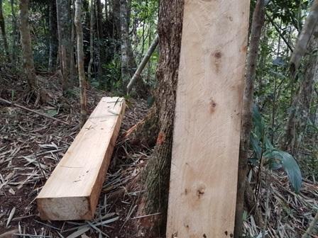 """Nhiều phách gỗ pơmu nằm chắn ngang lối vào khu vực rừng pơmu bị phá, chứng tỏ lâm tặc nghe động nên """"bỏ của chạy lấy người"""""""