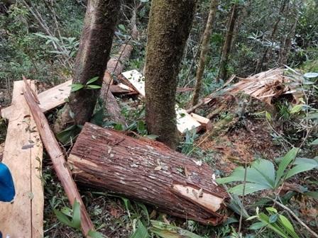 Gỗ pơmu nằm là liệt tại hiện trường vụ phá rừng