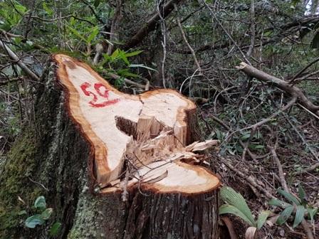 Gốc pơmu được cơ quan chức năng đánh số để theo dõi sau khi phát hiện vụ phá rừng này