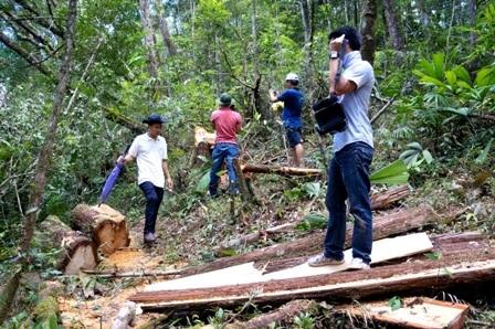 Hiện trường ngổn ngang gỗ pơmu ngã đổ, kéo theo hàng loạt cây rừng khác ngã rạp