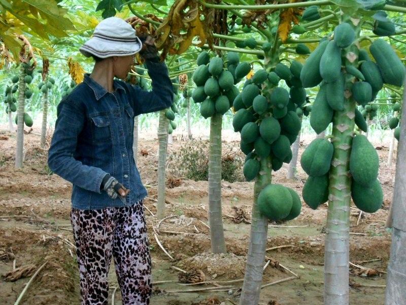 Bà Võ Thị Thúy cho biết nếu muốn thu hoạch phải đợi tháng 8 âm lịch để gỡ lại vốn nhưng sợ lúc đó lại mưa lũ, người dân có nguy cơ mất trắng