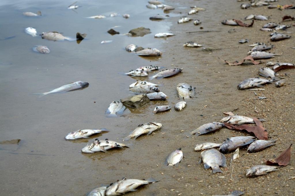 Cá rô phi chết nằm trên bờ hồ Phước Hà đang phân hủy bốc mùi