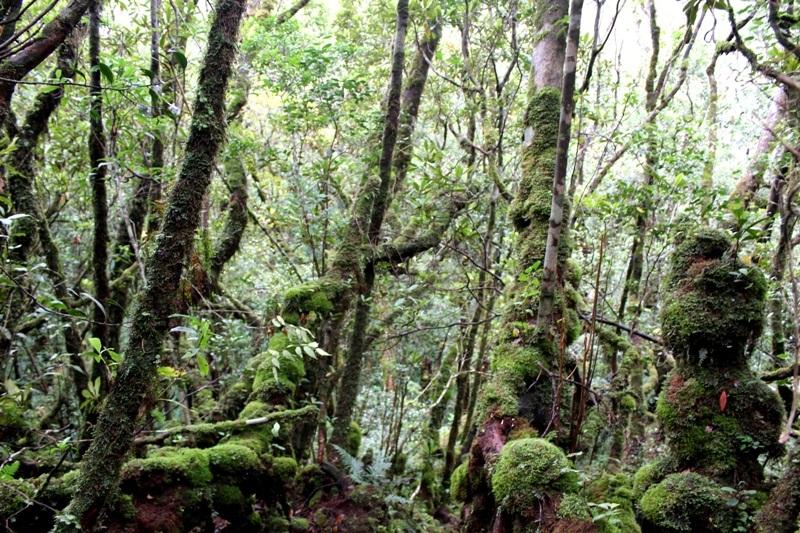 Khu rừng đỗ quyên cổ thụ trông rất kỳ bí