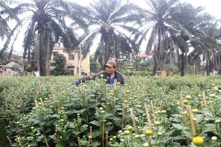 Nhiều hộ trồng hoa đang khẩn trương tỉa cành, kích thích để hoa nở kịp Tết