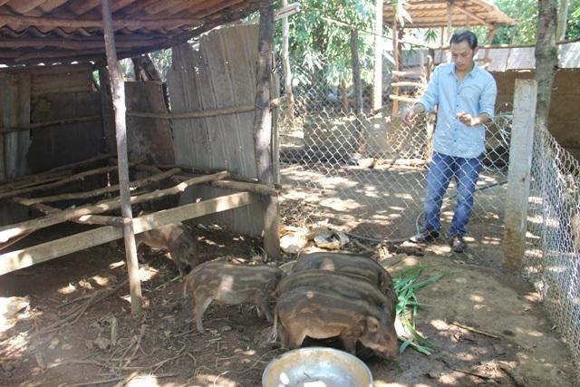 Hiện Phương cũng nuôi gần chục con lợn rừng trong vườn nhà