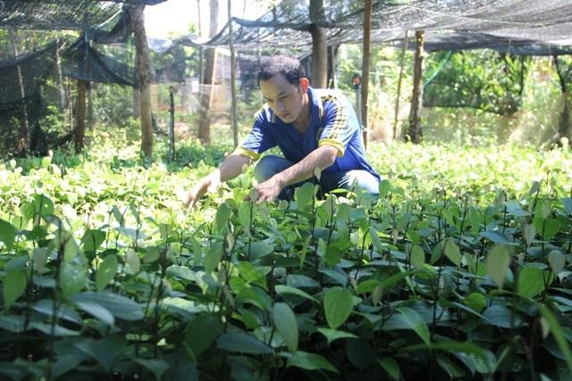 Vườn ươm tiêu giống của anh Phương đang phát triển tốt và chuẩn bị xuất bán