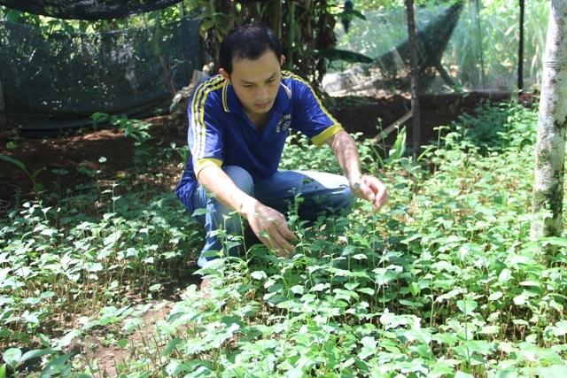 Giống cà gai leo là một loại cây mới đang được người dân địa phương trồng đại trà
