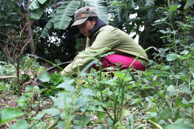 Lúc rảnh em Thảo giúp ba hái rau nấu cho gia súc.