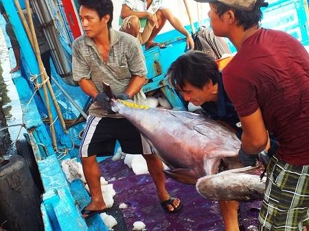 Theo Ban quản lý cảng cá Hòn Rớ (TP Nha Trang), những ngày giáp Tết nguyên đán, ngư dân bất ngờ trúng cá ngừ đại dương ở Trường Sa - Ảnh: Viết Hảo
