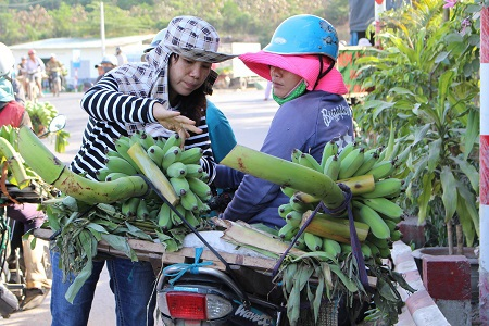 Một người dân chọn chuối ở chợ chuối Tết lớn nhất Nam Trung Bộ