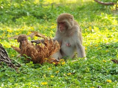 Trước khi có thể tự kiếm sống, khỉ mẹ sẽ dạy cho khỉ con cách leo trèo, bắt mồi và cả những kỹ năng tự vệ