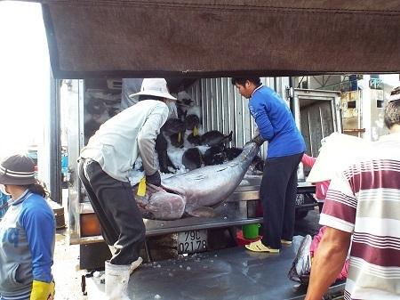 Thu mua cá ngừ đại dương ở cảng cá Hòn Rớ (Nha Trang, Khánh Hòa) - Ảnh: Viết Hảo