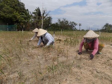 Do nắng hạn, sâu bệnh nên người trồng tỏi ở Ninh Phước (Ninh Hòa, Khánh Hòa) chỉ thu được 200-300 kg/sào
