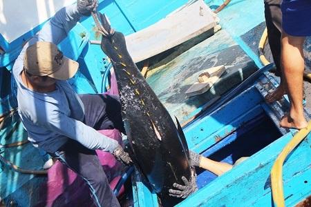 Trong ngày 19/3 và 20/3, phóng viên Dân trí ghi nhận nhiều tàu đánh bắt cá ngừ đại dương ở Trường Sa, Nhà giàn DK1... cập cảng cá Hòn Rớ (TP Nha Trang, Khánh Hòa) để xuất cá lên bán cho thương lái. Đây là chuyến biển đánh bắt từ sau rằm tháng Giêng đến trước rằm tháng Hai hàng năm.