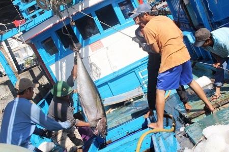 Để thuận lợi cho việc đưa cá từ hầm bảo quản lên cảng, ngư dân phải dùng ròng rọc với từ 5-6 người cùng hợp lực để kéo những con cá hơn nửa tạ lên khoang tàu. Tiếp đó, các ngư dân luân chuyển qua bến cảng với sự trợ giúp của 2 người đứng đợi sẵn ở trên bến cảng