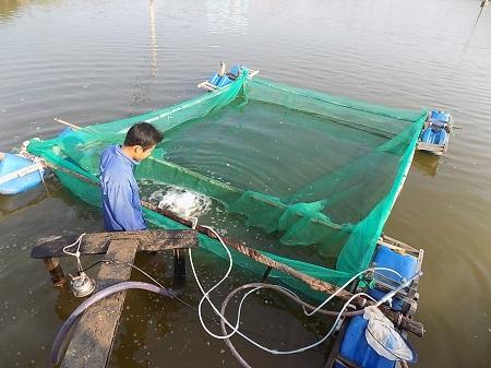 Đầu tư ít, nghề nuôi cá bớp giống đang hái ra tiền ở Khánh Hòa