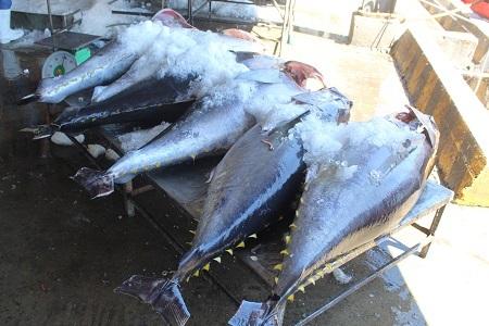 Cá ngừ đại dương ở cảng cá Hòn Rớ, TP Nha Trang, Khánh Hòa - Ảnh: Viết Hảo