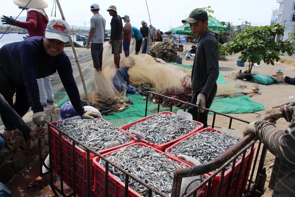 Ngư dân bất ngờ trúng đậm cá cơm trên Vịnh Nha Trang - 2