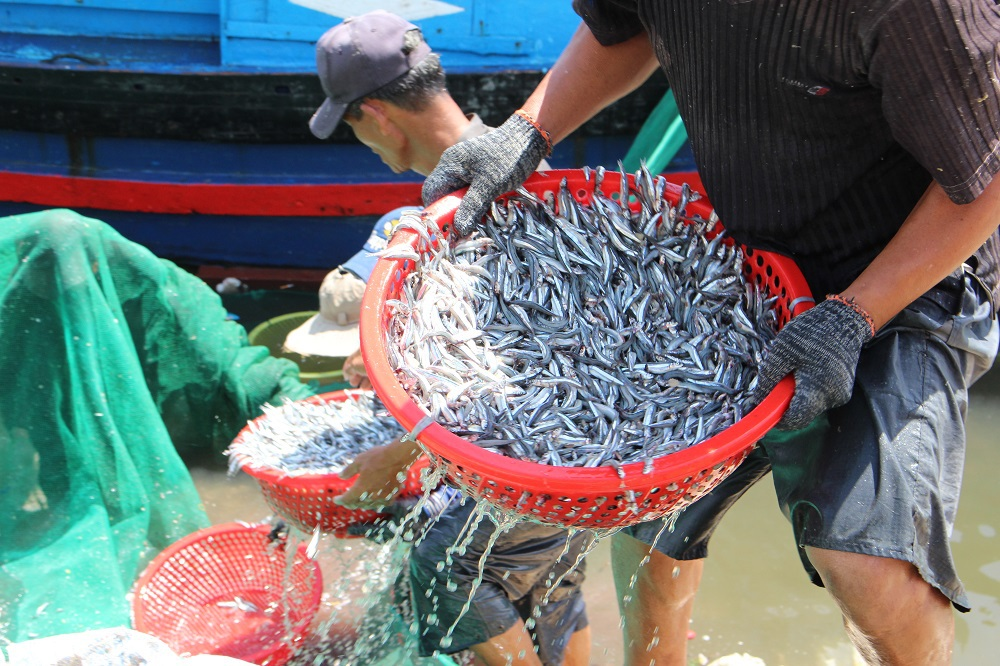 Ngư dân vận chuyển cá cơm ở dưới tàu lên bờ