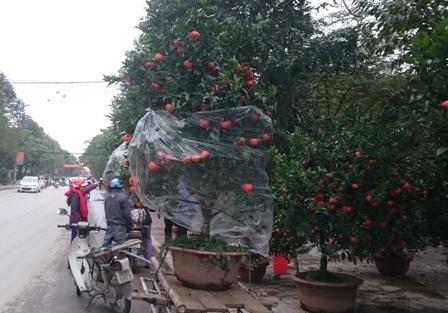 Những cây cam, cây quất có giá tiền triệu nên nhiều khách hàng cận thận hơn, trước khi vận chuyển phải che chắn, chằng néo lại cẩn thận.
