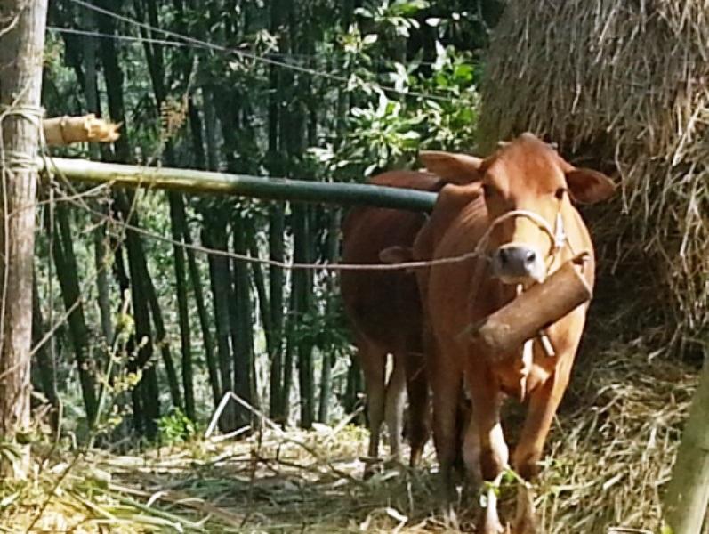 Dịch lở mồm long móng đã xuất hiện trở lại trên địa bàn huyện Bá Thước
