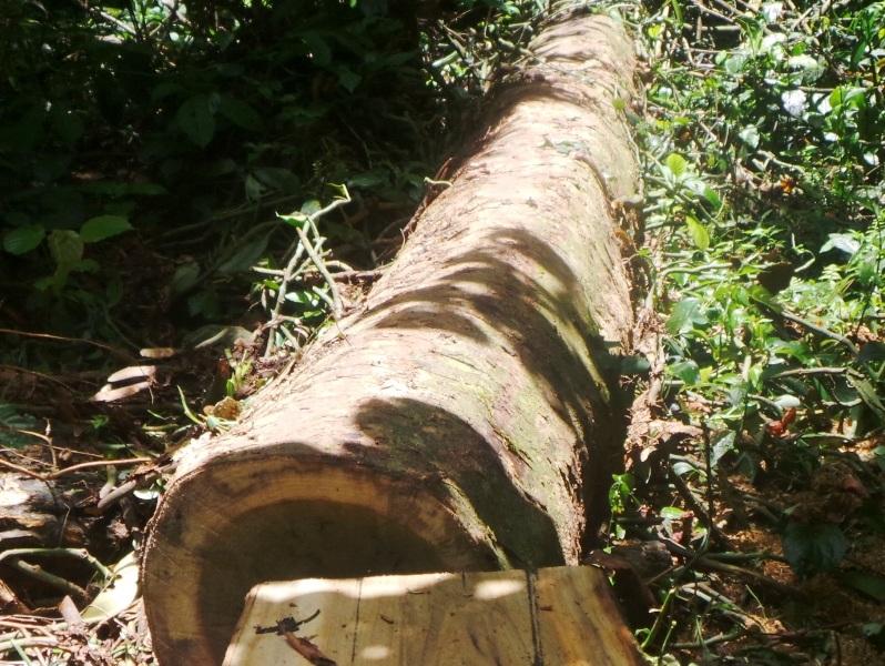 Những cây gỗ vừa mới bị đốn hạ và xẻ một phần thân cây