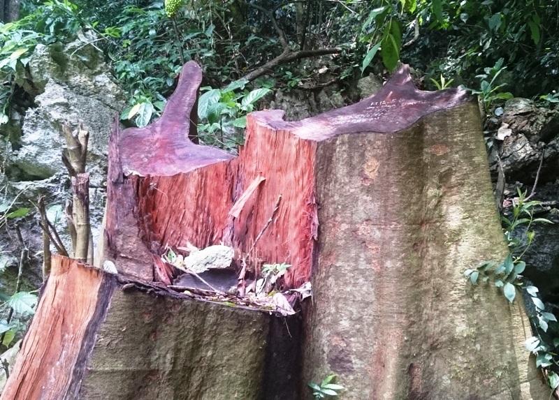 Một gốc gỗ lớn mới bị cắt