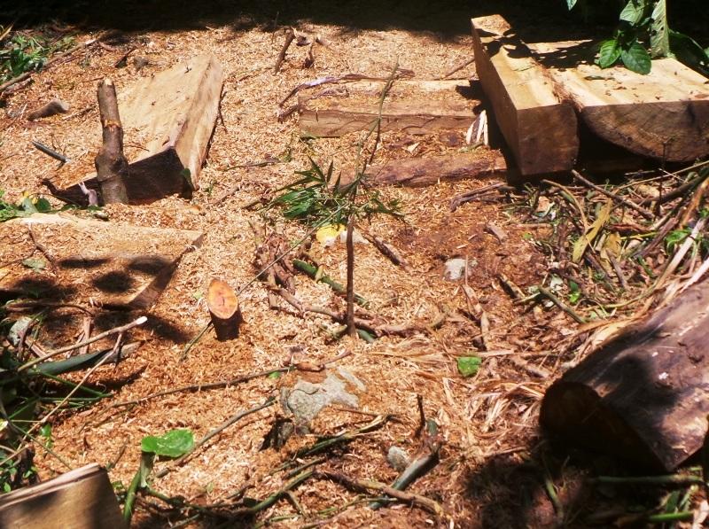 Những bãi mùn cưa từ việc xẻ gỗ còn tươi mới