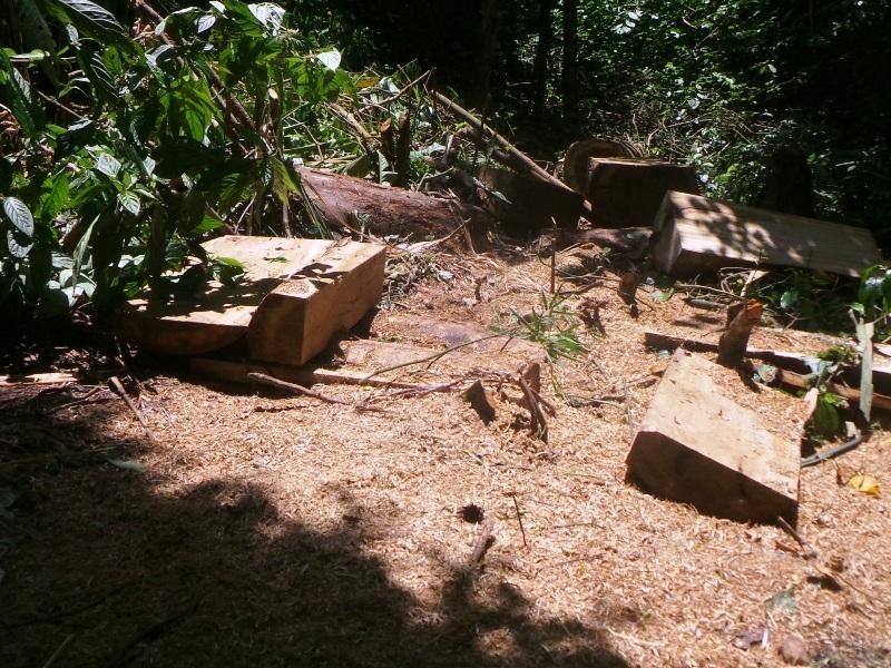 Những đối tượng khai thác cưa, xẻ gỗ ngay giữa rừng