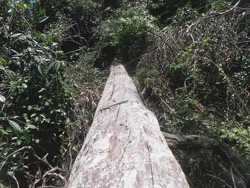 Một cây gỗ lớn khoảng 2 người ôm đã bị hạ còn nằm lại trong rừng