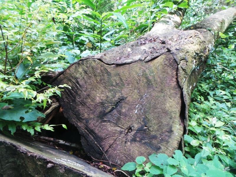 Lâm tặc đốn hạ xong còn để gỗ lại trong rừng