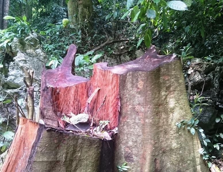 Nhiều gốc gỗ bị cắt còn tươi mới