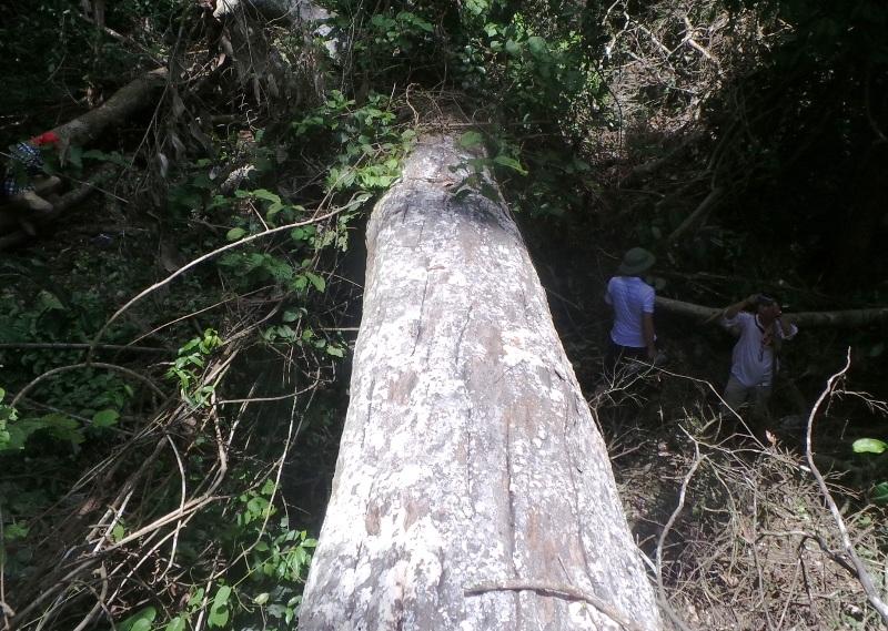 Hàng chục cây gỗ bị đốn hạ
