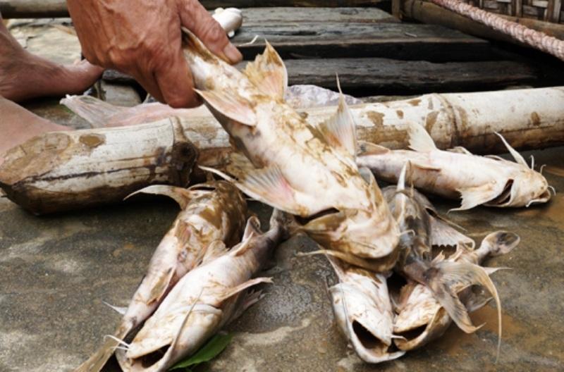 Cá gần đến kỳ thu hoạch chết hàng loạt