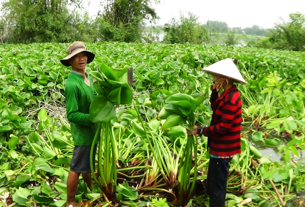 Nhờ cây lục bình, nhiều nông dân nghèo ở ĐBSCL có thu nhập ổn định