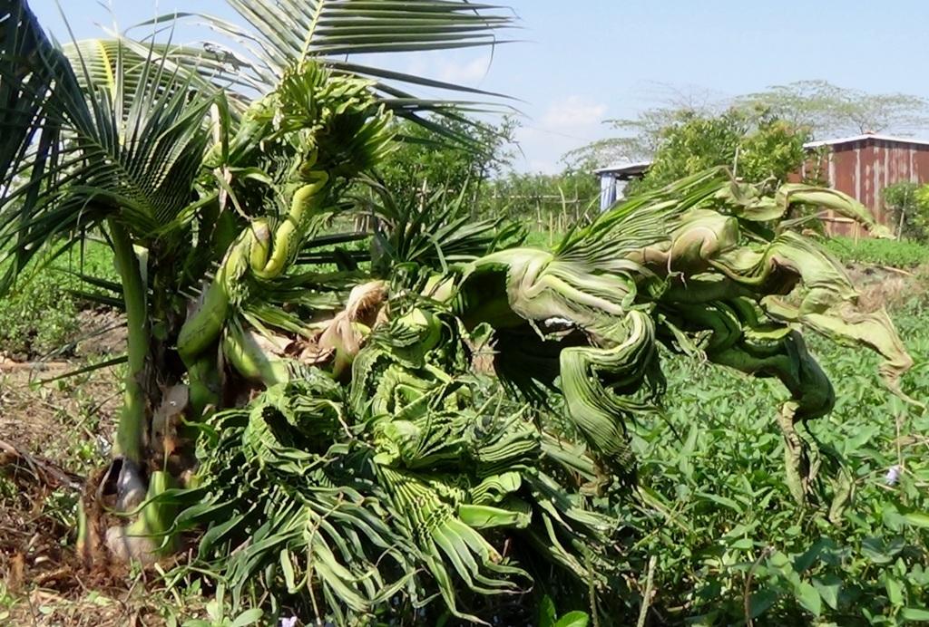 Cây dừa trổ đọt kỳ lạ của gia đình ông Nguyễn Văn Khỏi