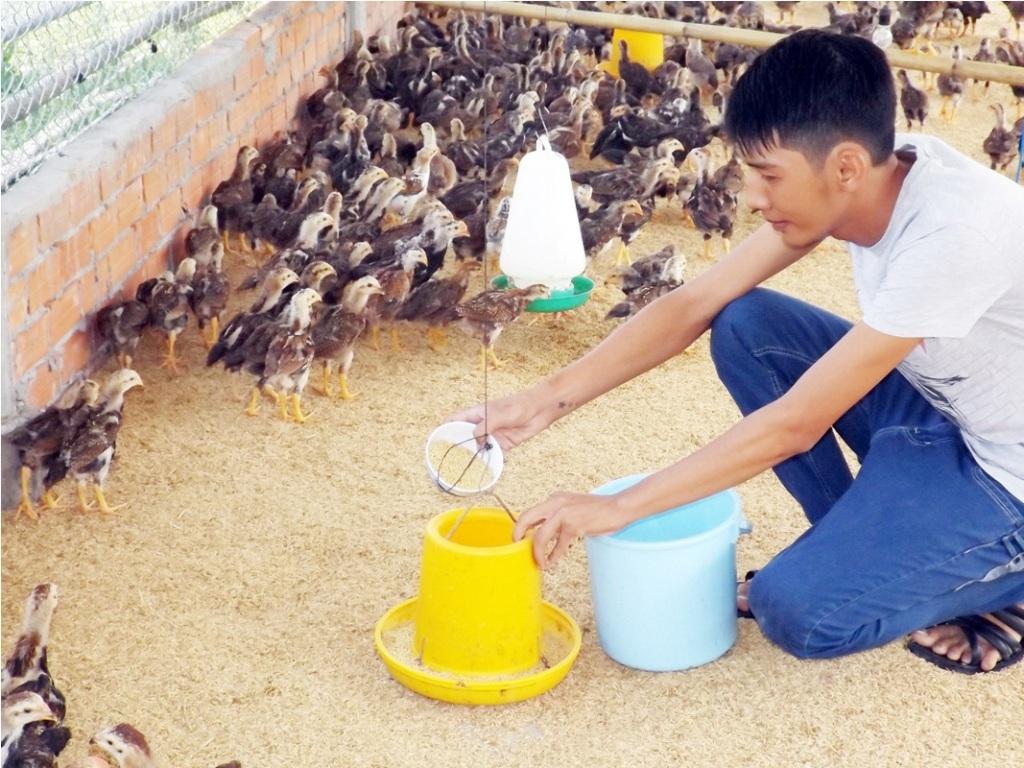 Sau khi xuất ngũ về quê, Pháp tìm tòi kỹ thuật nuôi gà Bình Định để phát triển kinh tế gia đình