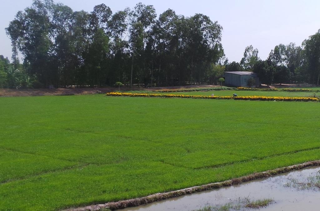 Ông Nuôi khẳng định khi ông dùng xi măng bón kèm với phân urê thì lúa xanh tốt và cho năng suất cao (ảnh minh họa).