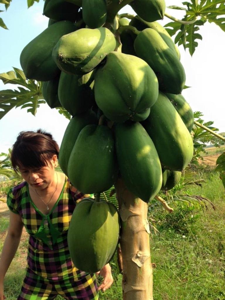 Trong vườn đu đủ của bà Chung có 2 cây đang cho ra những trái đu đủ có hình hoa mai